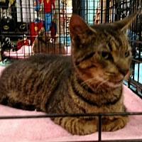 Adopt A Pet :: Tabby - Garner, NC