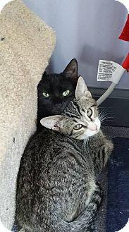 Domestic Shorthair Kitten for adoption in Virginia Beach, Virginia - Birdie