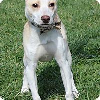 Adopt A Pet :: Ziggy - Waldorf, MD