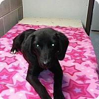Adopt A Pet :: Shadow - Albany, NY