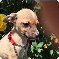 Adopt A Pet :: MACI - Elk Grove, CA