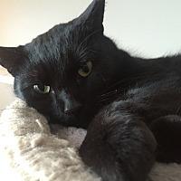 Domestic Shorthair Cat for adoption in Greensburg, Pennsylvania - Storm
