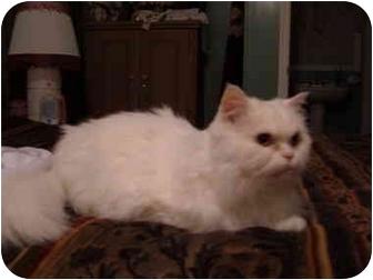 Persian Cat for adoption in No.Charleston, South Carolina - Norman