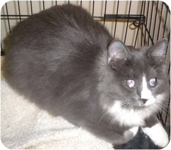 Domestic Longhair Cat for adoption in Forest Hills, New York - Bessie