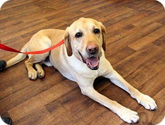 Labrador Retriever Dog for adoption in Cumming, Georgia - Beaux