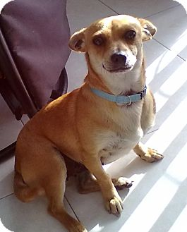 Terrier (Unknown Type, Small)/Chihuahua Mix Dog for adoption in El Cajon, California - TALYA (CANADA)