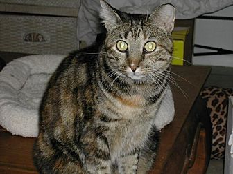 Domestic Shorthair Cat for adoption in Naples, Florida - Montana