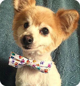 Pomeranian Dog for adoption in Cerritos, California - Marco