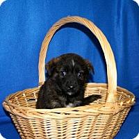 Adopt A Pet :: Comet - Erwin, TN