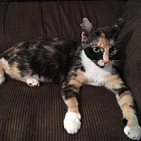 Domestic Shorthair Cat for adoption in Fredericksburg, Virginia - Cassie