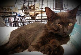 Domestic Shorthair Kitten for adoption in Fairborn, Ohio - Inky