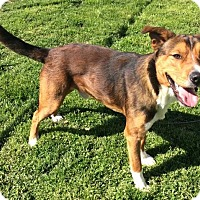 German Shepherd Dog/Boxer Mix Dog for adoption in Moody, Alabama - Snickers