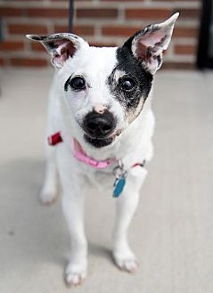 Jack Russell Terrier/Rat Terrier Mix Dog for adoption in Franklin, Indiana - Maxine