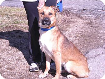 "German Shepherd Dog Mix Dog for adoption in New Castle, Pennsylvania - "" Kona """