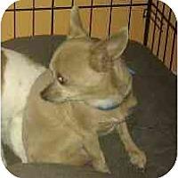 Adopt A Pet :: Prince Harry - Phoenix, AZ