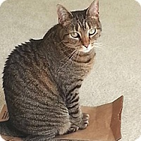 Domestic Shorthair Cat for adoption in Baltimore, Maryland - Missy