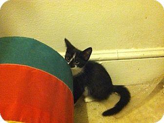 Domestic Shorthair Cat for adoption in Cranford/Rartian, New Jersey - Bridgett
