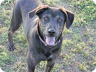 Catahoula Leopard Dog/Pug Mix Dog for adoption in Okmulgee, Oklahoma - Brandy