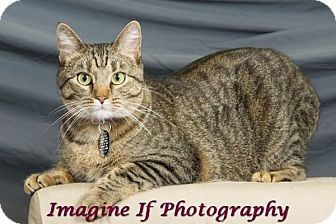 Domestic Shorthair Cat for adoption in Edmond, Oklahoma - Emma