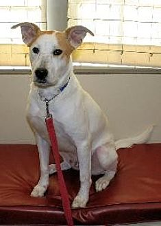 Bull Terrier Mix Dog for adoption in Richardson, Texas - Chunk