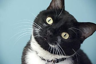 Domestic Shorthair Cat for adoption in Seal Beach, California - Sassy