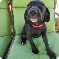 Adopt A Pet :: Shelby-Blk puppy Adopted! - Kannapolis, NC