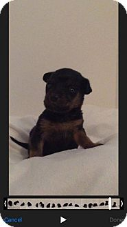 Chihuahua/Manchester Terrier Mix Puppy for adoption in ROSENBERG, Texas - Katniss 'Venus'