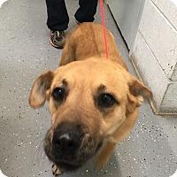 Labrador Retriever Mix Dog for adoption in Rockville, Maryland - Gia