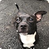 Adopt A Pet :: Meatball - Bellingham, WA