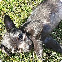 Adopt A Pet :: Dior - Los Angeles, CA