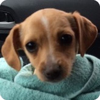 Dachshund/Chihuahua Mix Puppy for adoption in Houston, Texas - Buttercup Brrrrr