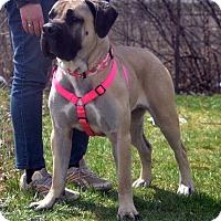 Adopt A Pet :: Stella-IL - Virginia Beach, VA