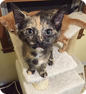 Domestic Shorthair Kitten for adoption in Charlotte, North Carolina - A..  Claire