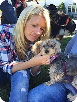 Poodle (Miniature)/Yorkie, Yorkshire Terrier Mix Dog for adoption in Ardsley, New York - Chelsea