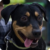 Rottweiler Mix Dog for adoption in Brooklyn Center, Minnesota - Jet