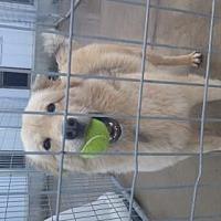 Shepherd (Unknown Type) Mix Dog for adoption in Colfax, Illinois - Lady