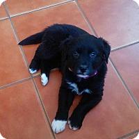 Adopt A Pet :: Primrose - MCLEAN, VA