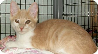Domestic Shorthair Kitten for adoption in Grants Pass, Oregon - Butters