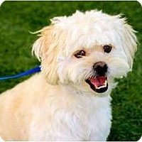 Adopt A Pet :: Carlton - Mission Viejo, CA