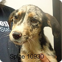 Adopt A Pet :: Spice - Greencastle, NC
