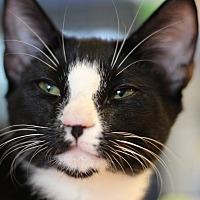 Domestic Shorthair Kitten for adoption in Marietta, Georgia - Tangelo