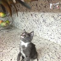 Adopt A Pet :: Blueboy - Sunny Isles Beach, FL
