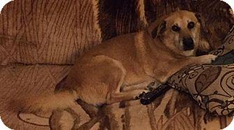 Corgi/German Shepherd Dog Mix Dog for adoption in Apple Valley, California - Lilly