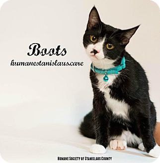 Domestic Shorthair Cat for adoption in Modesto, California - BOOTS