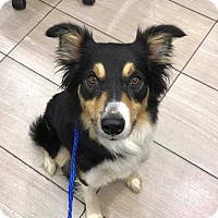 Collie Mix Dog for adoption in New York, New York - Rachel! *adoption pending*