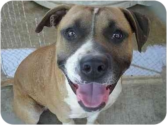 Pit Bull Terrier/Boxer Mix Dog for adoption in Fowler, California - Brawley