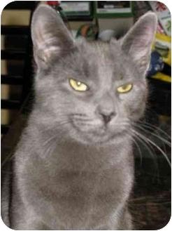 Domestic Shorthair Cat for adoption in Manalapan, New Jersey - Skylar