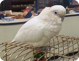 Cockatoo for adoption in Lenexa, Kansas - Lucy