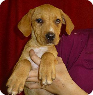 Labrador Retriever/Golden Retriever Mix Puppy for adoption in Oviedo, Florida - Lance