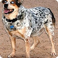 Adopt A Pet :: Lucky - Gilbert, AZ